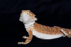 Dragon barbu sur le noir Images libres de droits