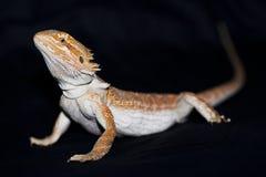 Dragon barbu sur le noir Image stock