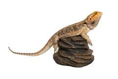 Dragon barbu sur une roche Photo libre de droits