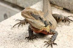 Dragon barbu (vitticeps de pogona) Image libre de droits