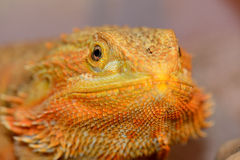 Dragon barbu (vitticeps de Pogona) Photo libre de droits