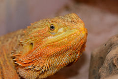 Dragon barbu (vitticeps de Pogona) Photographie stock