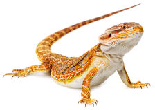 Dragon barbu - vitticeps de pogona photographie stock libre de droits