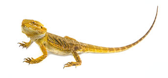 Dragon barbu - vitticeps de pogona images stock