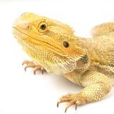 Dragon barbu (vitticeps de Pogona) photographie stock libre de droits