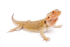 Dragon barbu, vitticeps de Pogona photographie stock libre de droits