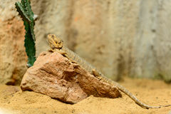 Dragon barbu, vitticeps de Pogona, résolution de Highhigh Photos stock