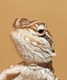 dragon bbay Photo libre de droits