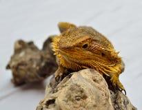 Dragon. A bearded dragon climbing a log royalty free stock photo