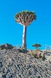 Dragon Blood-Bäume im Schutzgebiet von Dixam-Hochebene, Socotra-Insel, der Jemen Lizenzfreie Stockbilder