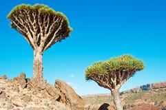 Dragon Blood-Bäume im Schutzgebiet von Dixam-Hochebene, Socotra-Insel, der Jemen Stockfotografie