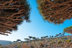 Dragon Blood-Bäume, Niederlassungen, im Schutzgebiet von Dixam-Hochebene, Socotra-Insel, der Jemen Stockfotografie