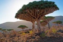 Dragon Blood-Bäume, Sonnenunterganglicht, im Schutzgebiet von Dixam-Hochebene, Socotra-Insel, der Jemen Stockfotos