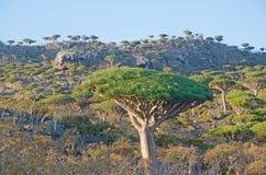 Dragon Blood-Bäume, Sonnenunterganglicht, im Schutzgebiet von Dixam-Hochebene, Socotra-Insel, der Jemen Lizenzfreie Stockfotografie