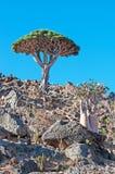 Dragon Blood-Baum und blühende Flaschenbäume im Schutzgebiet von Dixam-Hochebene, Socotra-Insel, der Jemen Stockfoto