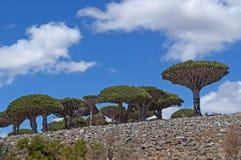 Dragon Blood-boom, Socotra, eiland, Indische Oceaan, Yemen, Midden-Oosten Stock Foto's