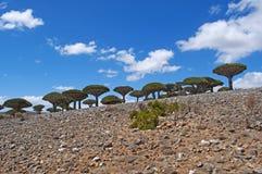 Dragon Blood träd, Socotra, ö, Indiska oceanen, Yemen, Mellanösten Royaltyfri Foto