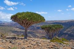 Dragon Blood träd, Socotra, ö, Indiska oceanen, Yemen, Mellanösten Arkivfoton
