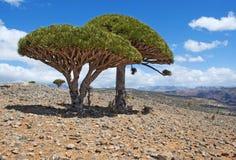 Dragon Blood träd, Socotra, ö, Indiska oceanen, Yemen, Mellanösten Arkivfoto