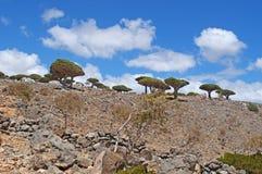 Dragon Blood träd, Socotra, ö, Indiska oceanen, Yemen, Mellanösten Royaltyfria Bilder