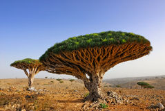 Dragon blood tree Stock Photo
