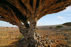 Dragon blood tree Royalty Free Stock Photos