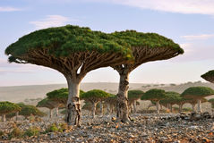 Dragon blood tree royalty free stock images