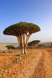 Dragon blood tree Royalty Free Stock Photo