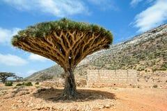 Dragon Blood Tree Immagini Stock