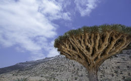 Dragon Blood Tree, cinnabari de Dracaena, arbre de dragon d'île de Socotra, a menacé des espèces Images stock