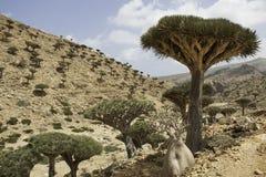 Dragon Blood Tree, cinnabari de Dracaena, arbre de dragon d'île de Socotra, a menacé des espèces Images libres de droits