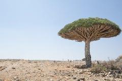 Dragon Blood Tree, cinnabari della dracaena, dracena delle Canarie di socotra Fotografia Stock Libera da Diritti