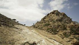 Dragon Blood Tree, cinnabari della dracaena, dracena delle Canarie di socotra, ha minacciato le specie Fotografia Stock