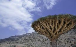 Dragon Blood Tree Dracaenacinnabarien, Socotradraketräd, hotade art Arkivbilder