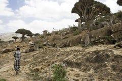 Dragon Blood Tree Dracaenacinnabarien, Socotradraketräd, hotade art och en man som går i en öken, Februari, 12th, 201 Royaltyfria Bilder