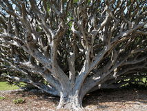 Dragon Blood tree fell over Royalty Free Stock Photos