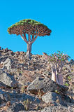 Dragon Blood tree and flowering Bottle trees in the protected area of Dixam Plateau, Socotra Island, Yemen Stock Photo