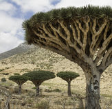 Dragon Blood Tree forrest, cinnabari de Dracaena, arbre de dragon d'île de Socotra, a menacé des espèces Photographie stock libre de droits