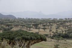 Dragon Blood Tree forrest, Dracaena cinnabari, Socotra dragon tree, Threatened species Royalty Free Stock Photos