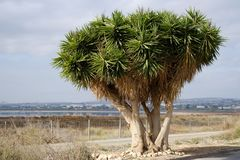 Dragon blood tree near the Las Salinas of Torrevieja Royalty Free Stock Photography