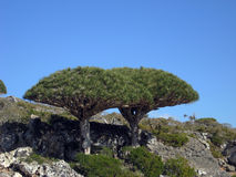 Dragon Blood tree Royalty Free Stock Photography