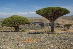 Dragon blood trees. Group of three dragon trees Stock Photo