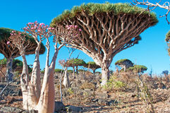 Dragon Blood trees and flowering Bottle trees in the protected area of Dixam Plateau, Socotra Island, Yemen. The oasis of Dirhur, natural pool in the protected Stock Photo