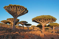 Dragon Blood trees forest at sunset, Socotra, Yemen Stock Photography