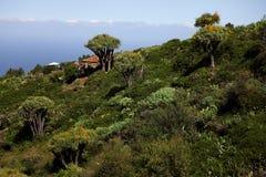Dragon Blood Trees on La Palma Stock Photo