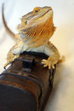 Dragon on a Chest. Bearded Dragon sits on a wooden chest Royalty Free Stock Photos