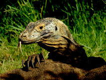 Dragon claw. Komodo Dragon extended forked tongue and claw stock photo