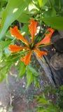 Dragon claw like flower. Exotic orange flower stock image