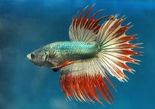 Dragon Crowntail Betta Splenden Fish royalty-vrije stock afbeelding