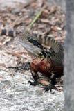 Dragon d'eau Images stock